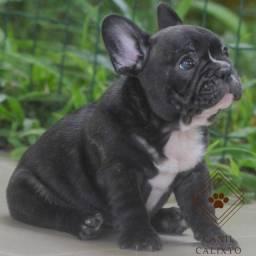 Bulldog Francês Filhotes (Canil Calixto)