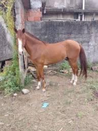 Título do anúncio: Cavalo alazão puro de picada