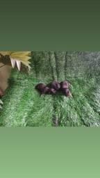 Título do anúncio: pinscher doguinha miniatura em até 10 x no cartão de crédito
