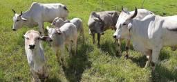 Título do anúncio: 3 vacas Nelore com cria ao pé