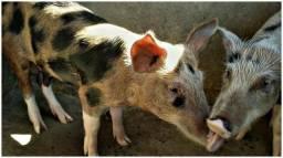 Porcas (Pietran)