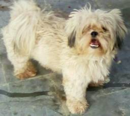 Vendo ou Troco cachorro Shitzu legítimo puro
