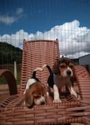 Beagle Inglês- Canil Canaã /Porto Seguro-BA/