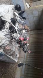 Marreco ganso angola