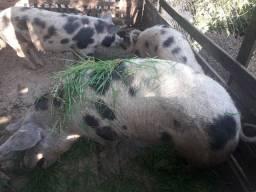 Vendo Porcas Reprodutoras da raça Piau