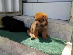 Filhotes de cachorro Chow Chow