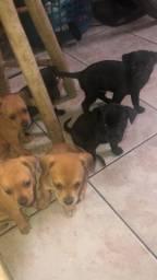 Doa se cachorros 3 fêmeas e 3 machos