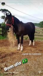 Cavalo picaço