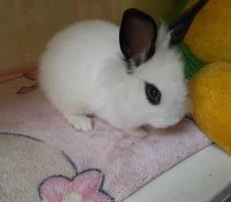 Coelha femia mini