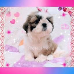 Lindíssima filhote de Shih tzu fêmea com Pedigree, linda pelagem!!