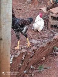 Vendo frangos caipiras legetimo