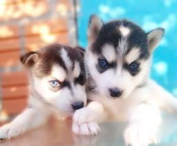 Título do anúncio: Vendo filhotes de Husky siberiano