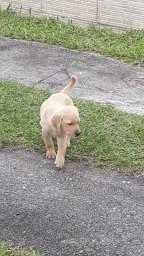 Título do anúncio: Labrador filhote