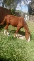 Vendo cavalo de 10 meses