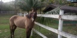 Égua misturada mangalarga e quarto de milha 8 anos