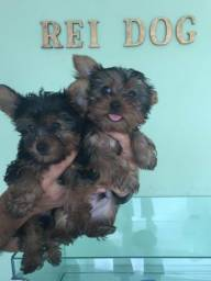 Yorkshire com pedigree 2 meses - Rei Dog Filhotes Aracaju/SE