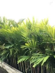 Mudas de Palmeira Veitchia