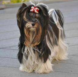 Yorkshire Biewer e Yorkshire Terrier pequeninos