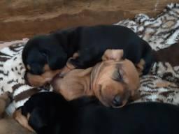 Lindos filhotes de dachshund