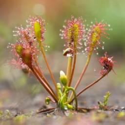 Mudas Droseras - Plantas Carnivoras - Valor E Espécies Na Descrição