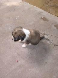 Cachorra  poodle 300,00