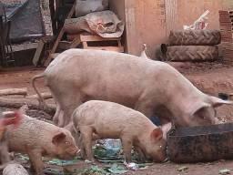 Título do anúncio: Porcos caipira  a venda