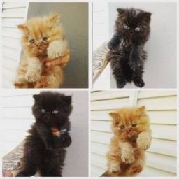 Gatos perça