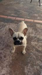 Bulldog francês 7 meses