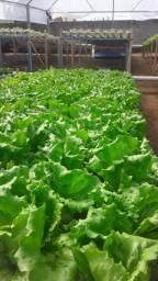 Verduras hidropônicas