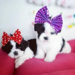 Os mais lindos filhotes !!!! Shih tzu