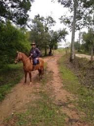 Excelente cavalo de montaria