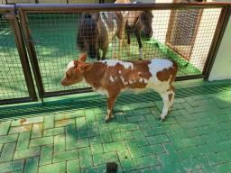 Mini bovino