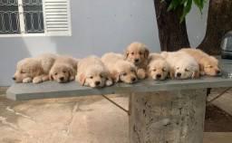 Título do anúncio: Filhotes de Golden Retriever