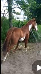 Cavalo Paint Horse de direita