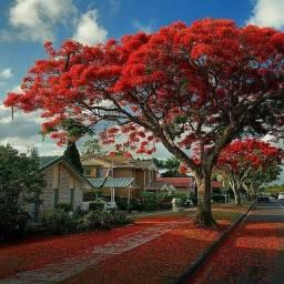 Título do anúncio: Flamboyant vermelho