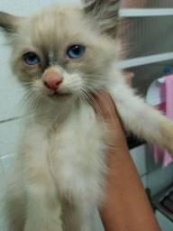 Vende -  se mae e dois filhotes de gato siames