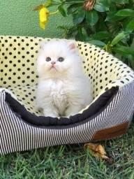 Título do anúncio: Filhote fêmea de gato persa disponível
