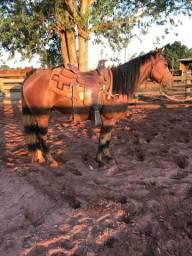 Cavalo Quarto milha puro
