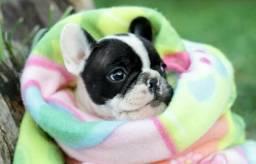 Bulldog frances (leia o anuncio )