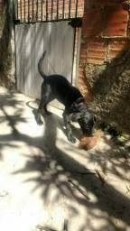 Labrador Preto fêmea (leia o anuncio)