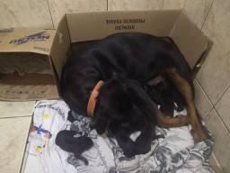 Filhotes de Rottweiler Puros