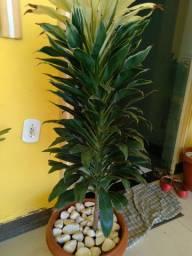 Dracaena fragans é uma planta muito bonita