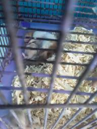 Hamster sírio filhote machos e femia
