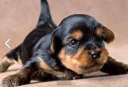 Venda de filhote Yorshire terrier macho .