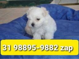 Título do anúncio: Cães Filhotes Belos BH Maltês Poodle Yorkshire Beagle Basset Shihtzu