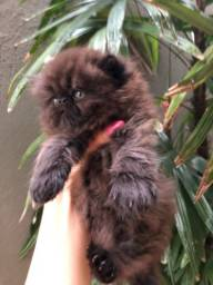 Título do anúncio: Filhote de gatinho persa disponível pra reserva