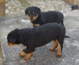 Título do anúncio: Canil Euro Filhotes de Rottweiler porte Gigante