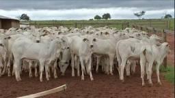 Vacas muito boa de produção!
