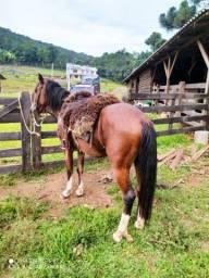 Título do anúncio: Vendo cavalo de marcha picada três anos e meio