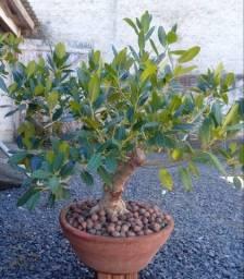 Ficus Bonsai Lindo e Incrível